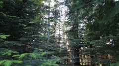 Dolly tracking shot of cedar tree forest Stock Footage