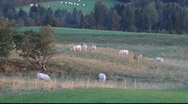 White cows grazing on a meadow at sunset Stock Footage