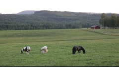 Horses and foals grazing on a meadow Stock Footage