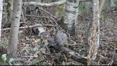 Hazel grouse in autumn Stock Footage