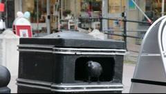 An Euarasian Jackdaw (Corvus monedula) sitting in a garbage bin. Stock Footage