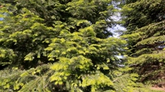 Cedar trees dolly slider Stock Footage