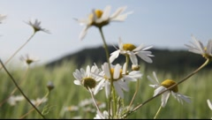 Camomille flowers in front of a barley field - stock footage
