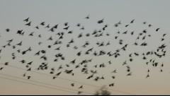 A flock of small birds flying to rest on a phone-line Stock Footage
