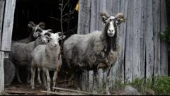 Old Swedish sheep race: Gute sheep Stock Footage