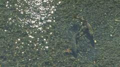 Chum Salmon Spawning Stock Footage