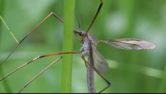 True cranefly (Tipula sp.) resting on a plant stalk in a meadow.  Stock Footage