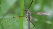 Stock Video Footage of True cranefly (Tipula sp.) resting on a plant stalk in a meadow.