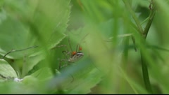 Harvestman (Phanlangium opilio) parasitised by red mites  in a meadow.  - stock footage