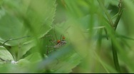 Stock Video Footage of Harvestman (Phanlangium opilio) parasitised by red mites  in a meadow.