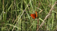Stock Video Footage of Male Scarce Hopper butterfly (Heodes virgaureae L.)