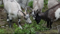 Goats eating birch leaves Stock Footage