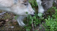 Two goats feeding on blueberry leaves Stock Footage