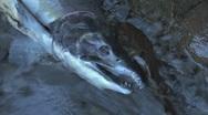Dead Salmon 3 Stock Footage