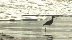 Sandpiper in surf, backlit surf Stock Footage
