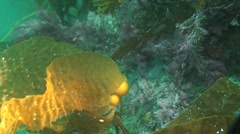 Giant kelp, California coast - stock footage