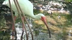 Ibis feeding - stock footage