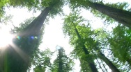 Stock Video Footage of Redwood Cathedral