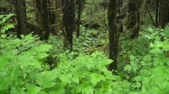Temperate rain forest ,stream Stock Footage