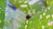 Stock Video Footage of Ladybug
