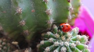 Ladybird on a cactus Stock Footage