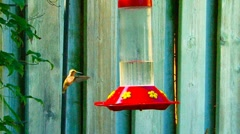 Humming Bird Hovering Around Feeder Stock Footage