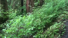 Temperate rain forest, death Stock Footage