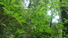 Temperate rain forest ,berries Stock Footage