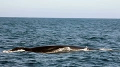 GRAY WHALE IN THE OCEAN Stock Footage