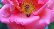 Stock Video Footage of Ladybug on a rose