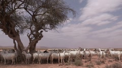 Somalia: A herd of Goats Stock Footage