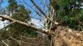 Fallen - Dying Dead Tree 1 - Hurricane Aftermath Footage