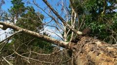 Fallen - Dying Dead Tree 1 - Hurricane Aftermath Stock Footage