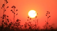 Stock Video Footage of Sunset red sky, grass silhouette zooming and sun above field