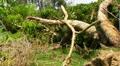Fallen - Dying Dead Tree 2 - Hurricane Aftermath Footage