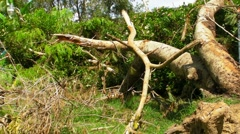 Fallen - Dying Dead Tree 2 - Hurricane Aftermath Stock Footage
