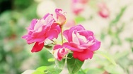Pink roses moving Stock Footage