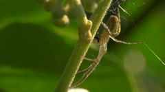 Spider - Meta segmentata devouring a fly - Extreme close up Stock Footage