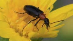 Black and red beetle on yellow flower Stock Footage