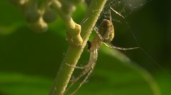 Spider - Meta segmentata devouring a fly - Web moves Stock Footage