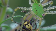 Green lynx spider Peucetia viridans eating wasp Stock Footage