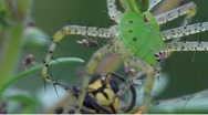 Stock Video Footage of Green lynx spider Peucetia viridans eating wasp