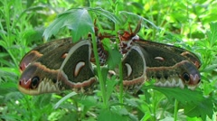 Cecropia Moths Mating Stock Footage