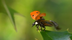 Extreme close up of ladybird taking off Stock Footage