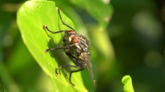 Fly on leaf cleaning its legs then flying off Stock Footage