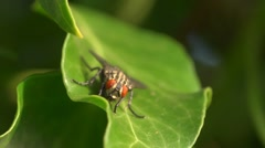 Extreme close up of fly on ivy leaf Stock Footage