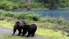 Mother and cub grizzly wrestle Stock Footage