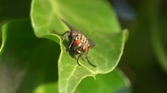Extreme close up of fly on ivy leaf - 2 Stock Footage