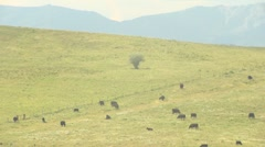 Cattle on prairie hill, very long shot Stock Footage