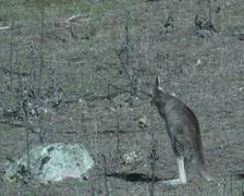 Femal Eastern grey Kangaroo scratching- Australia Stock Footage